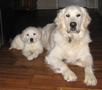 White Golden Retrievers Dog Breeders Golden Puppies For Sale Online